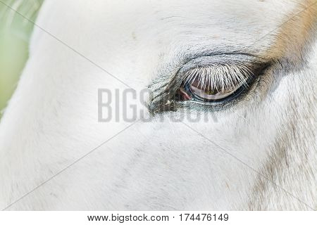 Close up of a white horse eye