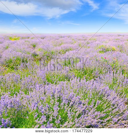 blooming lavender in a field on a background of blue sky