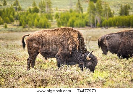 One bison looking down grazing in prairie in Yellowstone National Park