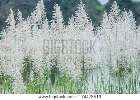 background of white grass flower of reed plant in autumn