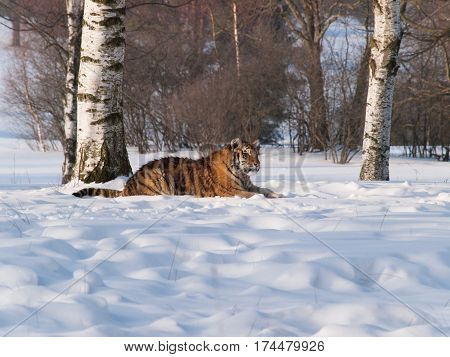 Panthera tigris altaica - Siberian tiger lying on the snow in taiga in birch forest