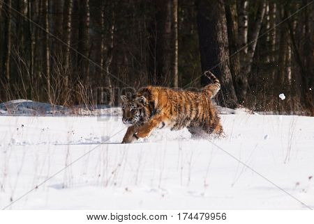 Siberian tiger in wild winter nature in taiga in Russia - Panthera tigris altaica