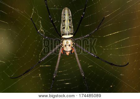 Golden Spider on it web in the wild