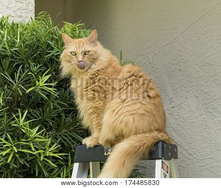 Orange Maine Coon Cat on top of ladder with tongue out