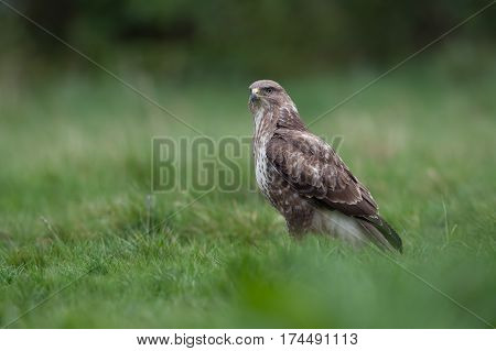 Common Buzzard (Buteo buteo) standing in long green grass