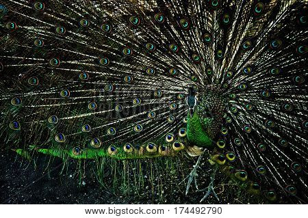 emerald green peacock fluffed tail shows the beautiful feathers closeup