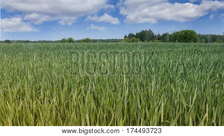 Summer landscape: field sown with winter wheat a distant view of the trees. On a blue sky fluffy white clouds.