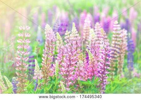 Tender field flowers lupins/ purple and pink lupine flowers blooming field background