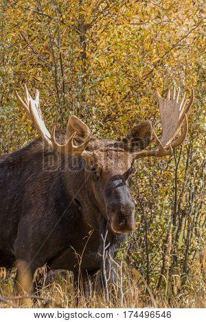 a bull shiras moose in Wyoming during the fall rut