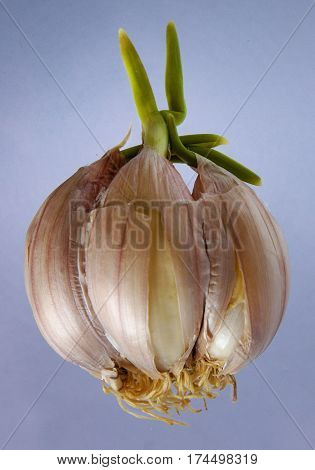 Garlic clove with green sprout on blue background