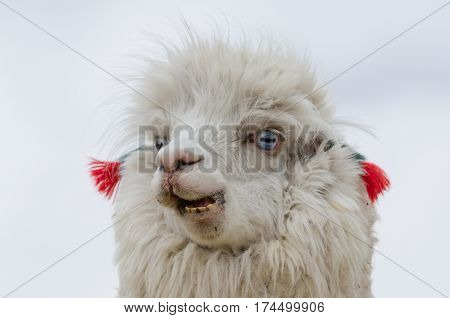 Cute emotional llama with blue eyes and ear decorations. Altiplano Bolivia South America