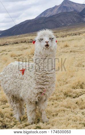 Cute llama of Altiplano Bolivia South America