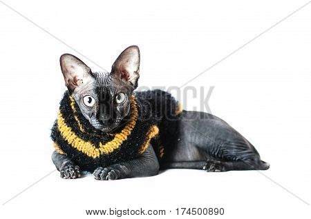 Black cat the Sphinx is the clothing the sweater on white background