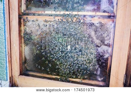 Honeycomb with bees in beehive at apiary.