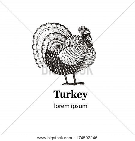 Vector illustration - a bird turkey hand drawn.Vintage engraving style. Nature - Sketch. Isolated fowls image on a white background. Logo template.