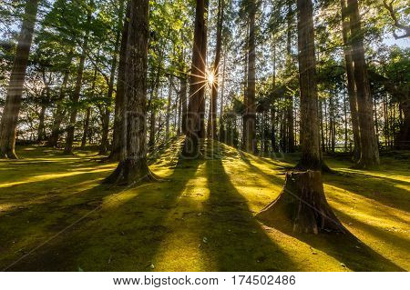 Sun Ray Coming Through Pine Forest In Obi, Kyushu, Japan