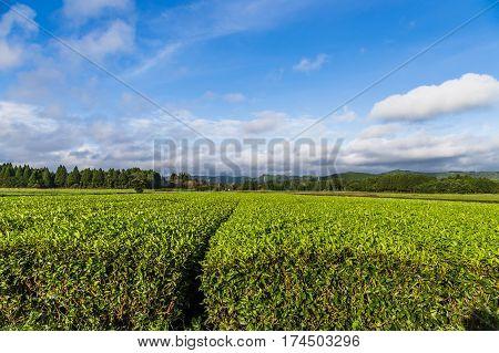 Oolong tea field in Chiran Kyushu and blue sky