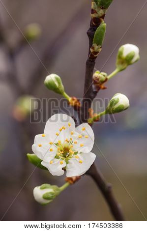 Blossoming branch with flower of cherry tree. macro foto