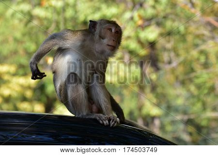 Naughty little monkey sitting on the roof.