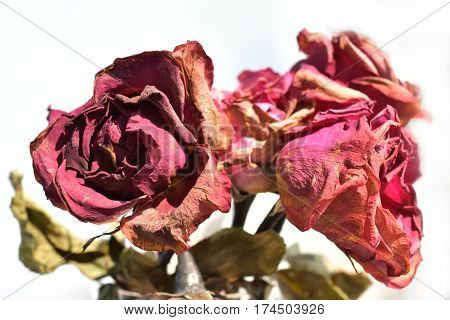 Front view of flower wilt. (Rose) on white background
