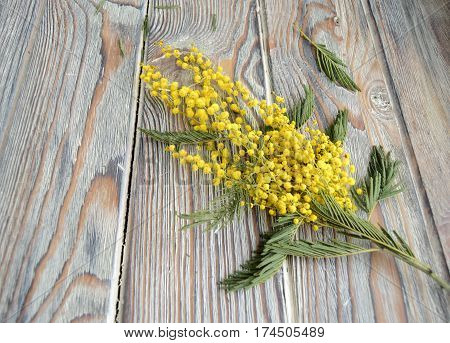 The branch of a mimosa lies on a table. The mimosa is a symbol of spring