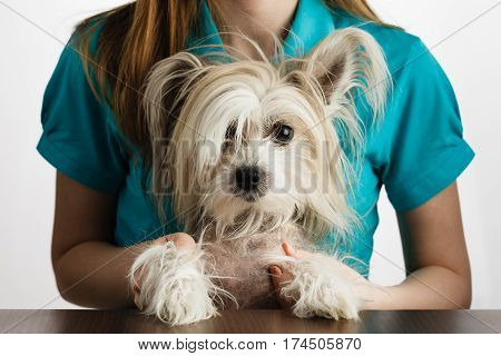 Chinese Crested Dog In Girls Hands
