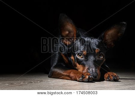 Miniature Pincher dog lies on black background