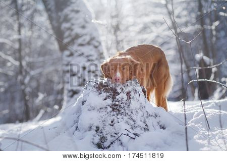 dog in winter outdoors Nova Scotia Duck Tolling Retriever in the forest obedient