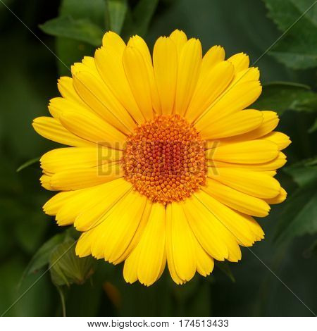 head of yellow daisies blooming in the flower bed
