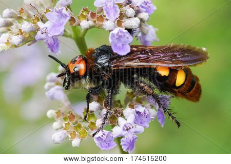 Scola is a giant or a spotted Scola (lat. Megascolia maculata = lat. Scolia maculata) is a species of large wasps from the family of scaly - on lavender flower. The largest representative of the order Hymenoptera in the fauna of Europe