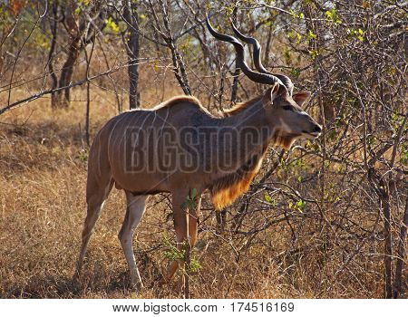 male of Greater kudu with big twisted horns and typical white strips on the torso in orange and dry african bush