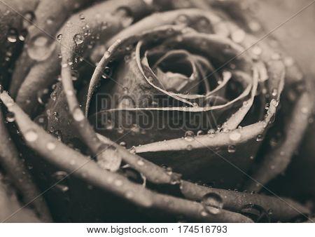 Closeup on Center of Beautiful pink Rose. Perfect Macro on Beautiful Big Rose Flowerhead