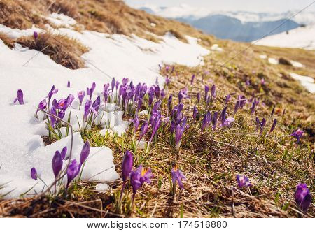 First spring flowers crocus as soon as snow descends on the background of mountains