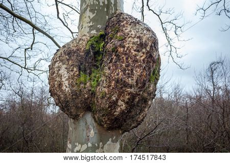 Plane-tree with a burl nature, outdoor, fauna.