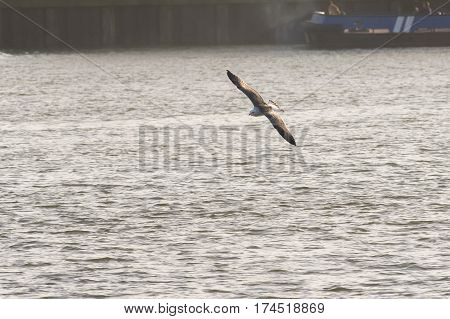 Greater Black-backed Gull (Larus marinus) juvenile flying around in a Harbour above the water