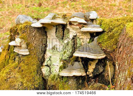 Polypore mushrooms on stump of deciduous trees.