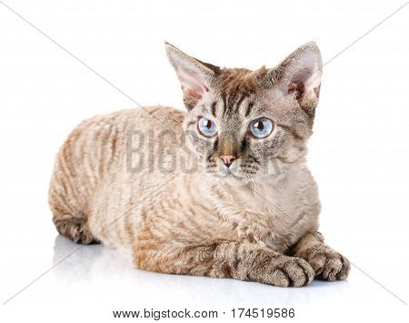 gray devon rex cat siting on white background and looking aside the camera