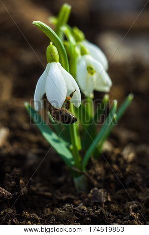 The little white snowdrops growing in early spring on a sunny day  The little white snowdrops growing in early spring on a sunny day