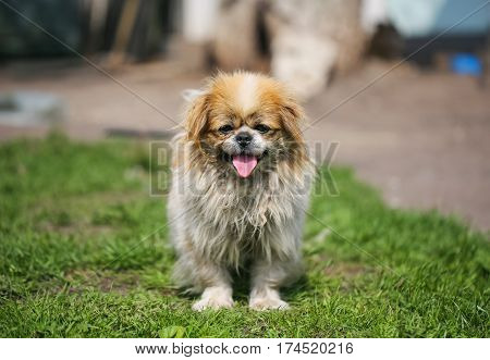 Funny red-haired pekingese dog look in camera with elongated tongue