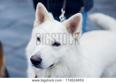white dog looks up, white dog breed eared husky