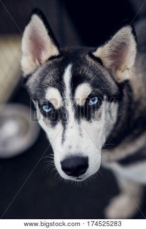 Husky with blue eyes, dog breed husky with blue eyes