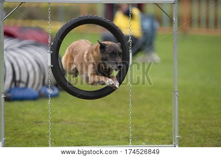 Jumping Belgian Shepherd. He is on agility competition performing his elegant work. He is successful through agility hoop.