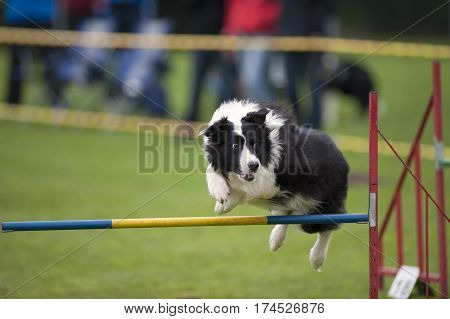 Black and white dog jump over hurdle on agility competition. He is looking aside to his handler's next command.