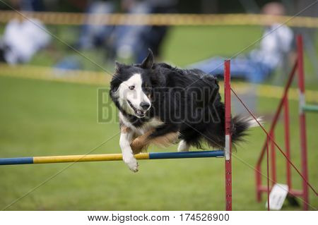 Cute dog jumping over agility hurdle. He is looking aside and is ready for next exercise.
