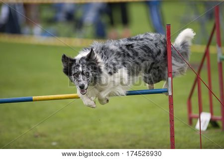 Excited dog jumping over agility obstacle. He is very happy and playful. Australian Sheepdog with nice blue merle grey color. He has blue marks in his eyes which makes his face expression even more attentive.