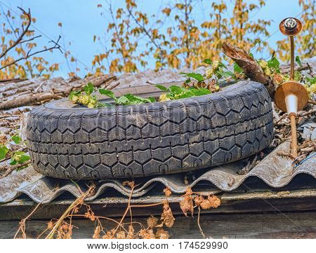 Old worn tire on a slate roof with hop plant
