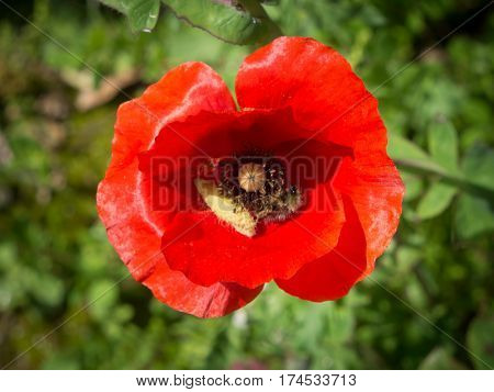 Poppy flowers on Olympos ruins Cirali Turkey