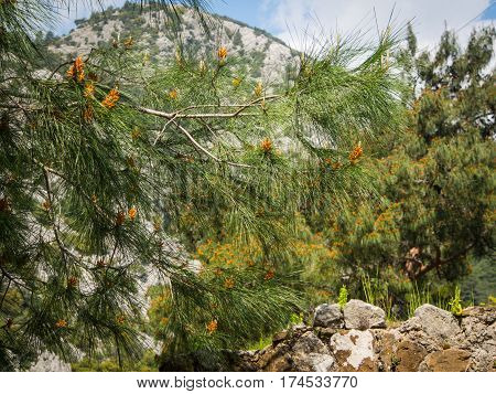 Blooming pine tree at Olympos archeological site Turkey
