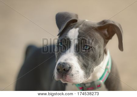Four months American Pitbull playing on the beach.