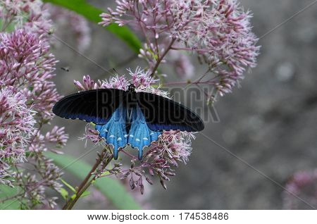 Blue Swallow Tail Butterfly on Wildflowers in North Carolina